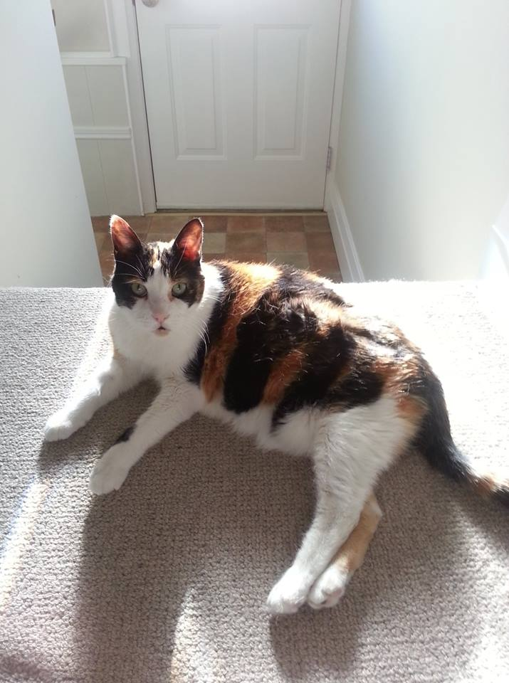 Calico Cat Chloe