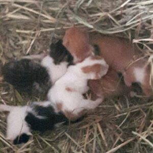 Litter of barn kittens