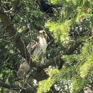 Beautiful hawk in tree